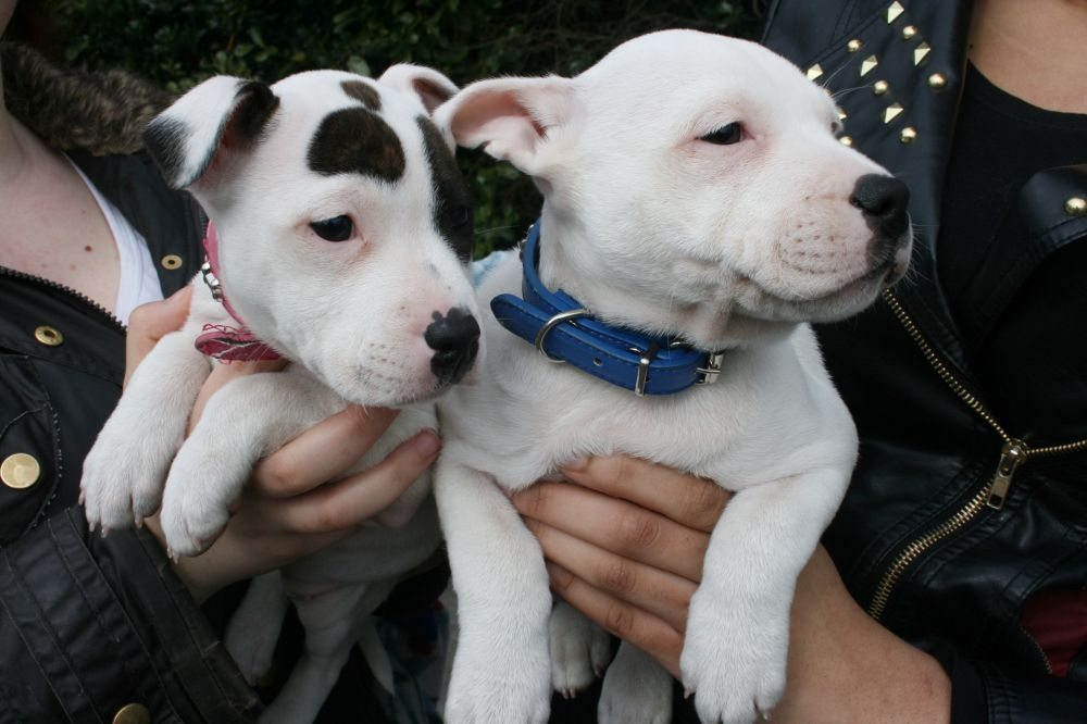 The two youngest visitors to receive a chip today were Tyson and Cookie, 8 week old brother and sister. The two adorable Staffordshire Bull Terriers were brought to the event by owner Lizzie McCloughlin of Northfield.