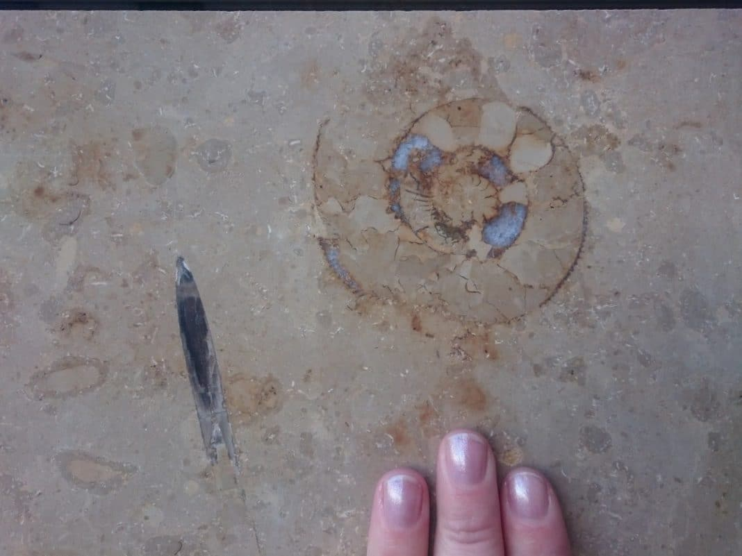 These two fossils were found near the Mountain Warehouse store. The black bullet on the left is a belemnite guard, with the front pointing downwards. The V-shaped notch is where the phragmocone would have been housed. The spiral fossil above my fingers is an ammonite, which has an area of calcite infill (the white crystals), and it also has nice definition to the chambers! I have included my fingers to give a sense of size.