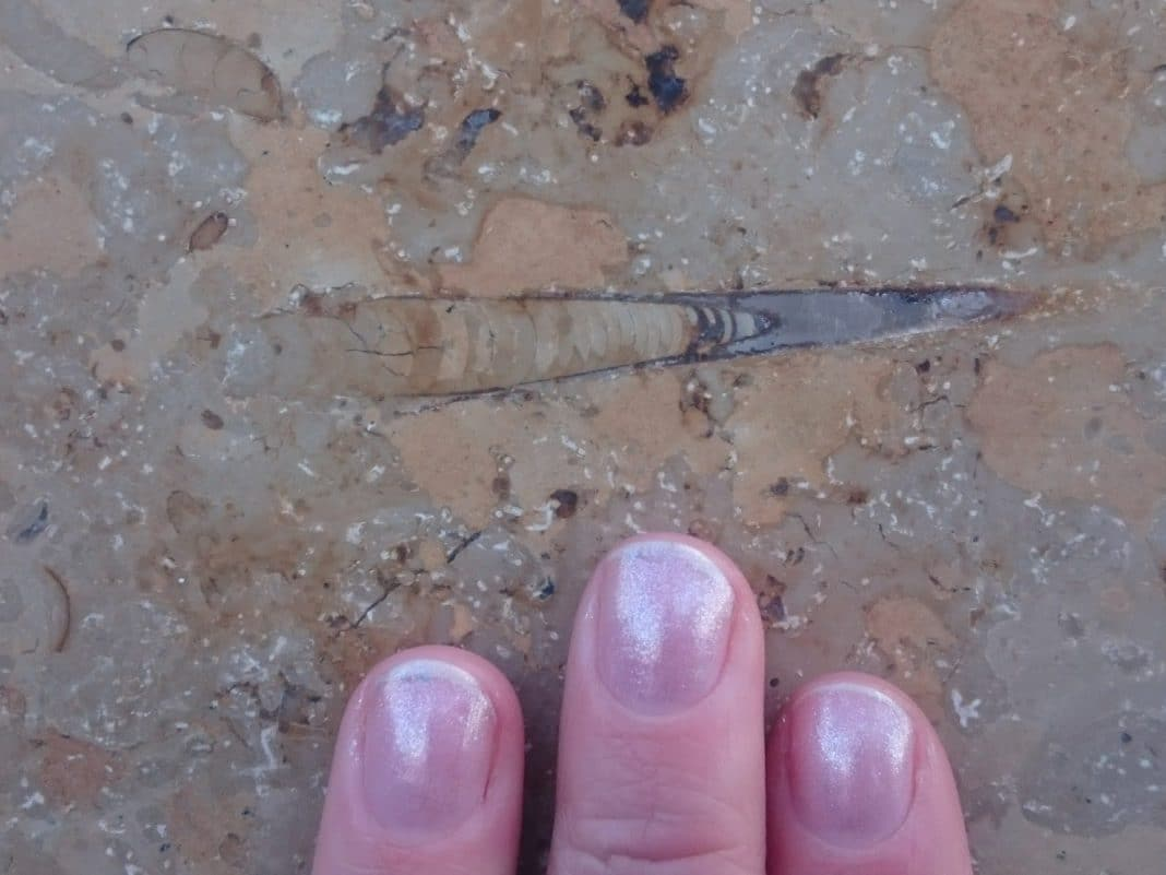 This belemnite has a VERY nicely preserved phragomocone! This is the chambered pale brown structure above the left and middle finger. The guard of the belemnite is the grey end on the right.