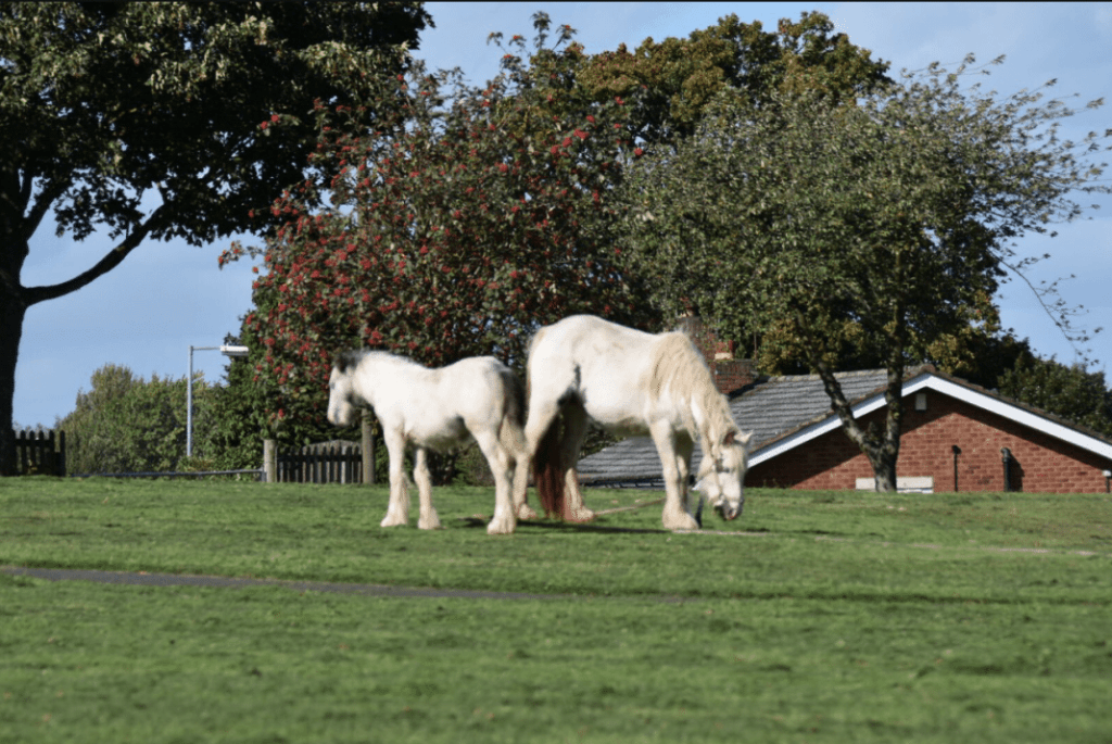 Horses at Long Nuke Park - Bartley Green